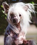 chinese crested1