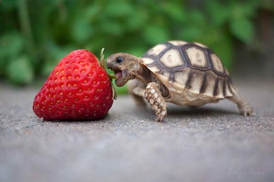 Carpestrawberry
