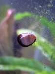 Snail-OliveNerite02.jpg