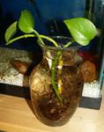 Inside: Pothos Ivy in Water