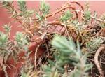 Pot Garden 2: Moss Rose
