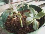 repotted sempervivum cuttings