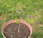 Pot Garden 3: aspen or redbud tree?