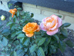 Front Yard Scaping: Rosebushes
